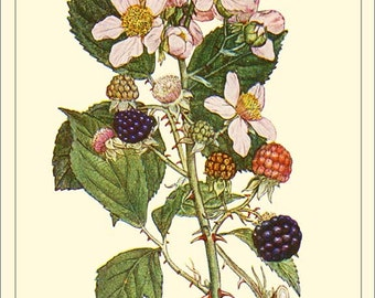 Blackberry ART CARD - Botanical print reproduction ES1-79