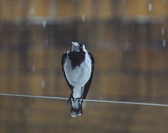Magpie Photo, Bird Photography, Animal Print, Bird Decor, Nature Fine Art Print, Nature Wall Art, Bird Print, Bird Art, Rain, Photo Gifts