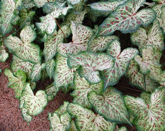 Gingerland Caladium 3 Bulbs - Creamy White/Red/Green