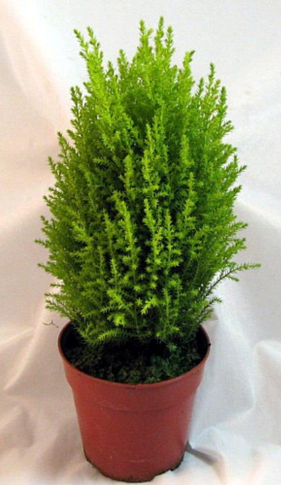 lemon scented goldcrest cypress tree indoorsout 45