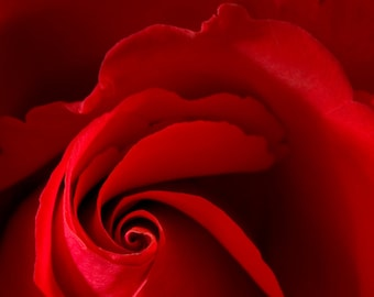 Red Rose #4, a gift that says love.