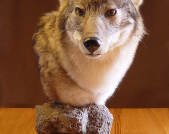 Coyote Pedestal Taxidermy Mount, Adirondack Coyote Head Pedestal Taxidermy Mount, animal mounts, coyote