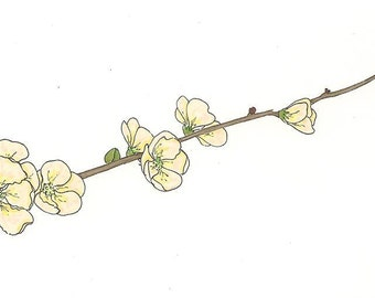 Flowering Quince - White