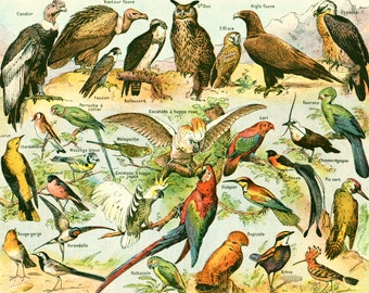 1930 Birds, Antique Print Larousse, Bird Identification Plate, Bird Wall Art, Dictionary Page Decor