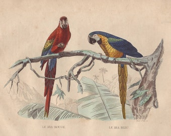 Parrots original 1852 Buffon tropical birds print - Ara, victorian - 164 years old French antique hand colored engraving illustration (B862)