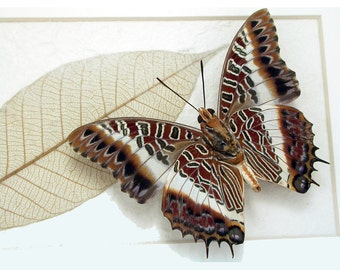 White-barred Emperor - Charaxes brutus -Real Framed Butterfly