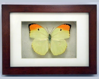 Orange-tipped Angled-sulphur - Anteos menippe -Real Framed Butterfly