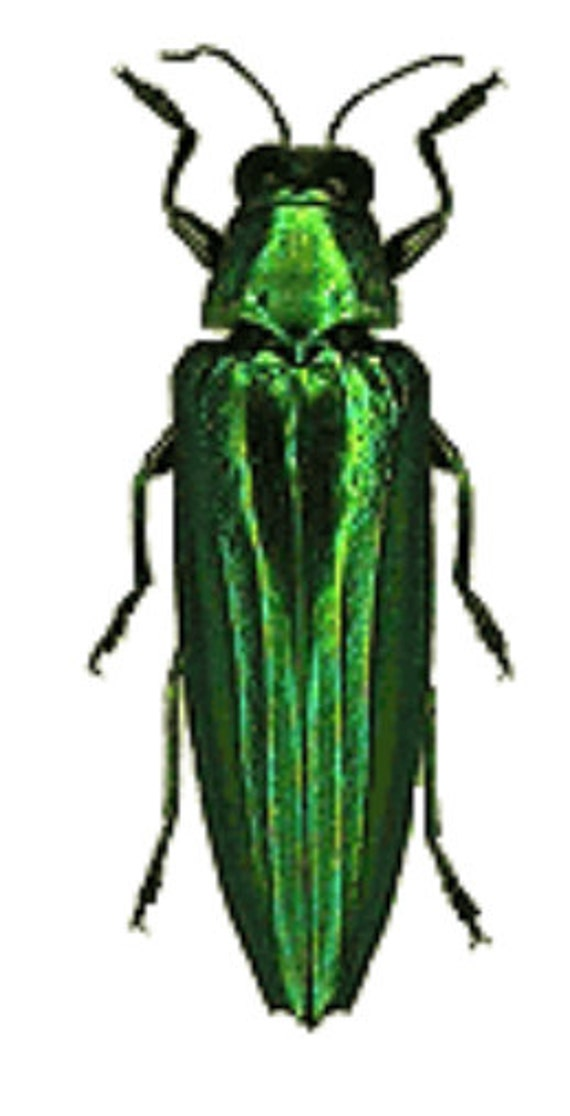 Supplies for your artworks - dried insects - :  5 chrycochroa vittata, buprestidae , jewelbeetle  unmounted , FREE SHIPPING