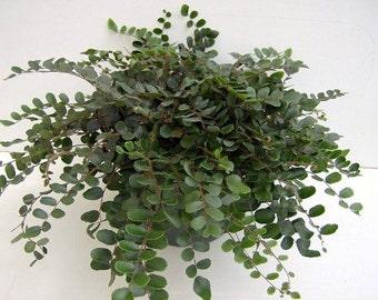 "Button Fern - Pellaea rotundifolia - Unusual, Easy to Grow - 4"" Pot  (FREE SHIPPING)"