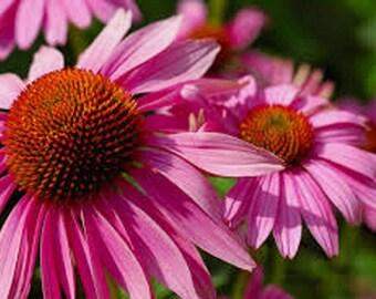 Buy 3 Get 1 Free- Purple Coneflowers 15 Seeds Organic, Beautiful Purple Blooms