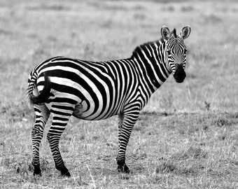 Zebra Print, Zebra Photo, Black & White Print, Wild Zebra, Nature Print,  Nature Photography, Zebra Art, African Print, Africa Photo, Zebra