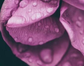 Wet Rose #2