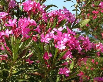 Nerium Oleander HOT PINK 15 OR 30 seeds, Perennial Small & Hardy Tropical Tree or Shrub