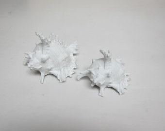 Porcelain Sea Shell Ram Murex