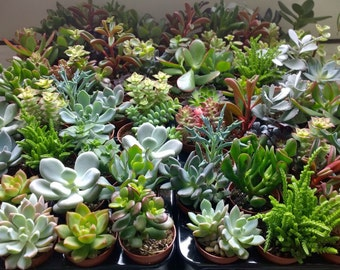"""Set of 6 Succulent Plants in 2.5"""" Pots."""