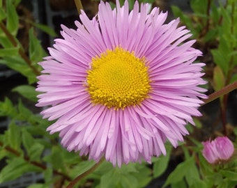 Erigeron Pink Jewel Flower Seeds/Perennial   50+