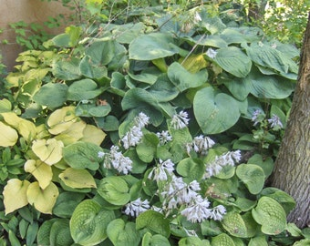 100 + HOSTA SEEDS MIX Perennials, Seed gotten from over 1000 different plants