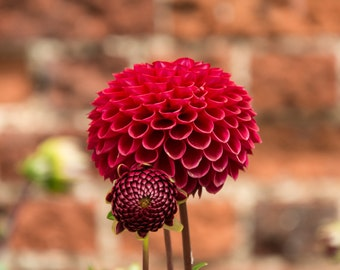 Photographic print of Red Dahlia flower, Wall art