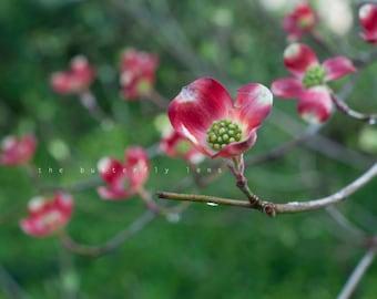 Dogwood Blossoms, 8x10 Photo