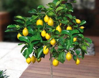 15 Edible Fruit Meyer Lemon Seeds, Exotic Citrus Bonsai Lemon, Tree Fresh Seeds