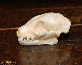 Real Greater Short-Nosed Fruit Bat Skull