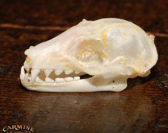 Real Long-Tongued Nectar Bat Skulls