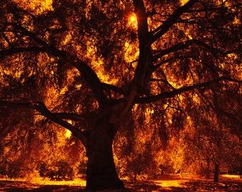 Native Oak