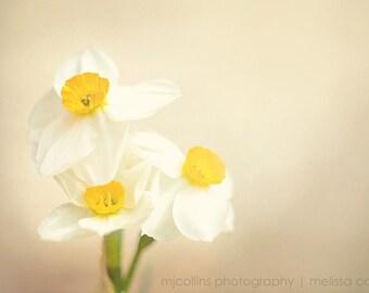 Creamy Daffodil