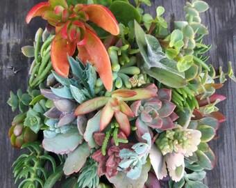 40 Succulent Cuttings