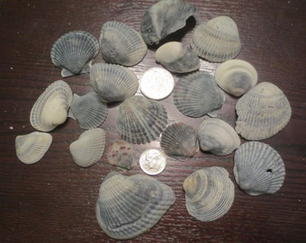 Lot of 20 Grey Natural Seashells