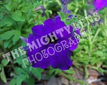 Royal Purple Petunia {Photography}