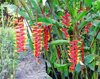 Lobster Claw Heliconia Rostrata AMAZING HANGING PENDULUM Flowers Vivid & Bright Colors