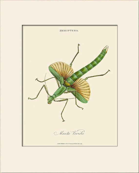 Mantis Viridis, India Insect, Edward Donovan, Art Print with Mat, Natural History Illustration, Wall Art, Wall Decor, Vintage Insect Print