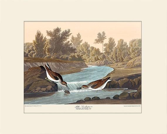 Audubon Bird Art Print, Little Piper, New Matted Art Print, Wall Decor, Natural History, Vintage Bird Illustration, Wall Art