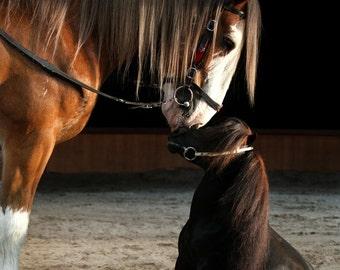 Clydesdale horse kiss mini stallion photography photo art portrait equine