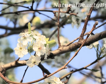 Flower photography, apple tree blossoms, nature photography, spring flowers, blue sky, bright flowers, wall art, floral print, fine art