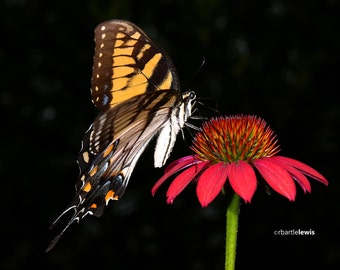 Tiger Swallowtail on Echinacea Note Card