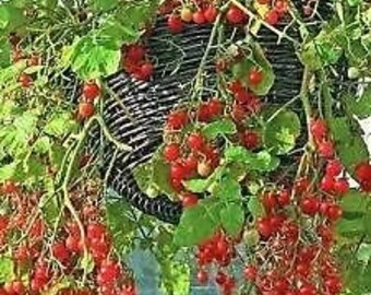 Tomato 'Tumbler' 20 Seeds - Best variety for hanging baskets