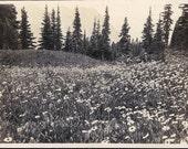 vintage photo 1918 Field of daisies Mountain View Oregon Vintage Snapshot photo