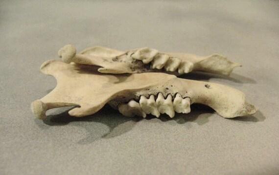 Old Jawbones Ground Hog 1970's Vintage Jaw Bones Groundhog