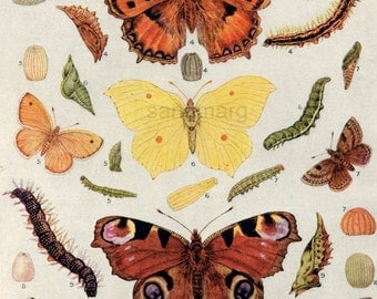 Vintage Butterflies Moths Caterpillars  Double Sided Chart for Framing
