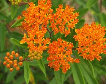 Butterfly Weed Seeds- AKA  Asclepias tuberosa Plant