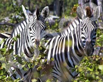 Zebras, Okavango Delta, Botswana