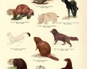 Fur Bearing Animals- 1933 print-Vintage Print, Animal Print