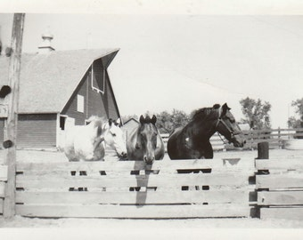 Original Vintage Photograph Horses at Fence in Barn yard 1940s