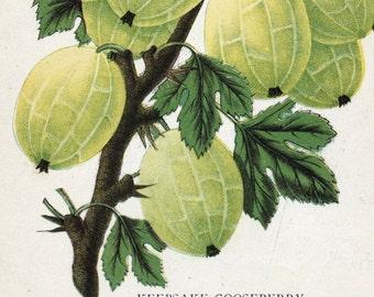 1890 Antique Botanical Print of the Keepsake Gooseberry