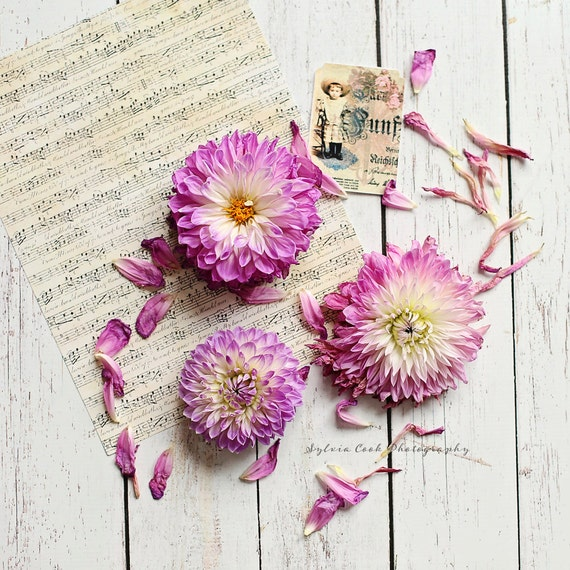Dahlias and sheet music,shabby chic decor, Fine art print,pastel photograph,still life, music,vintage,feminine,pink,square print