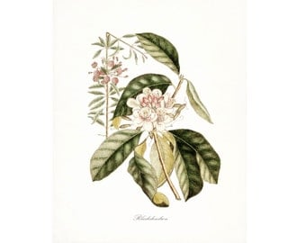 Vintage Rhododendron Illustration - Traditional Botanical Natural History Giclee Art Print