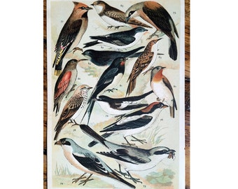 1904 birds original antique ornithology print color lithograph