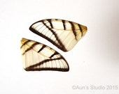 Real Butterfly Wings, Striped Swordtail Butterfly